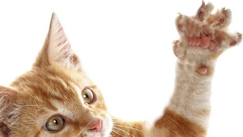 In The Claws Of The Cat new jersey bans declawing of cats in the u s