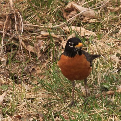 american robin during breeding season male american