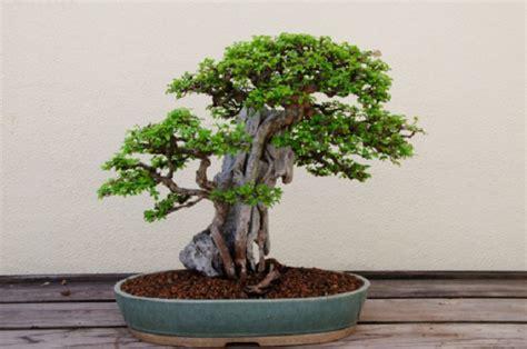vaso da bonsai scegliere il giusto vaso per bonsai pollicegreen