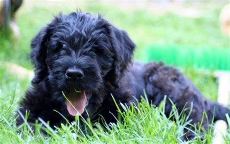 all about dogs boxerdoodle designer information all about dogs