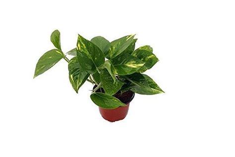 edera da vaso edera consigli pratici per una pianta rigogliosa