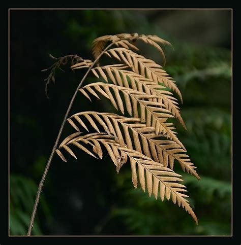 why is my fern dying treknature dying fern still beautiful photo