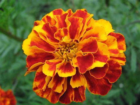 wallpaper daun orange 50 jenis bunga tercantik di dunia terlengkap gambar