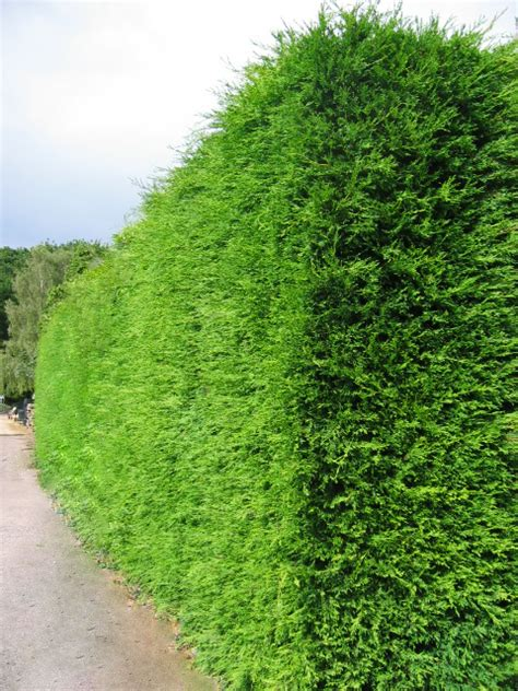garden hedges types which hedge hedging plants explained evergreenhedging