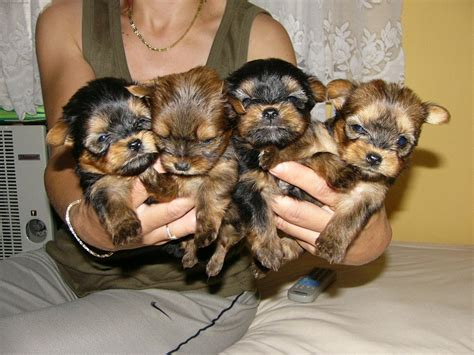 yorkie puppies for sale virginia terriergold terriers biewer yorkie design bild