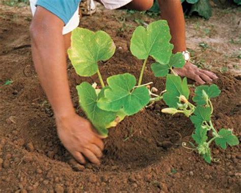 Soil Blocker Recipes Growing Pumpkins Best Article I Vegetable Garden Soil Recipe