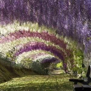 moon to moon wisteria arch at kawachi fuji garden