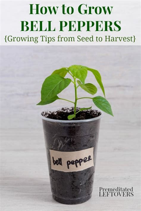 how to bell your how to grow green bell peppers