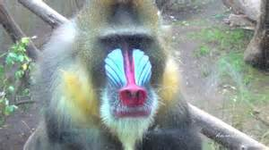 monkey with colorful mandrills colorful monkeys