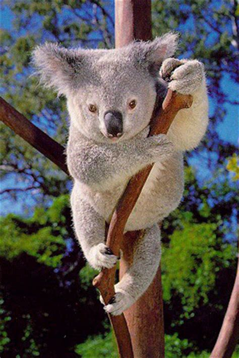 what is the average lifespan of a what is the average lifespan of a koala the koalas trivia quiz fanpop