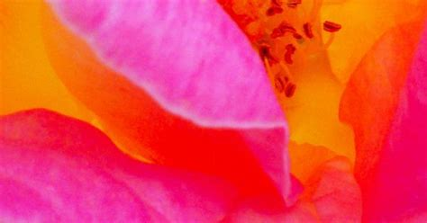 quot rosita quot of flower flowers beautiful orange pink and the colour