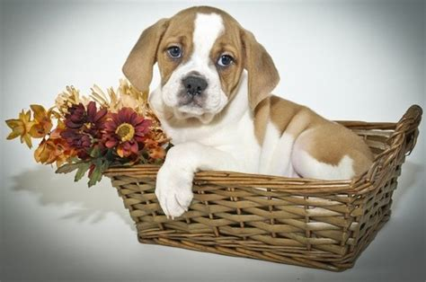 mixed breed puppies for free toilet trained mixed breed medium puppies for sale for sale in edinburgh toilet