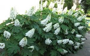 Hydrangea White Hydrangea Quercifolia Ice Crystal Oak Leaf Hydrangea