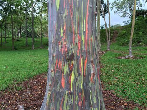rainbow eucalyptus rainbow eucalyptus trees kauai kauai surf company