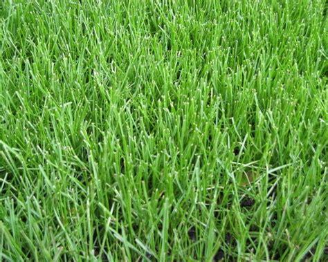 fescue grass types 28 images fine fescue grass www