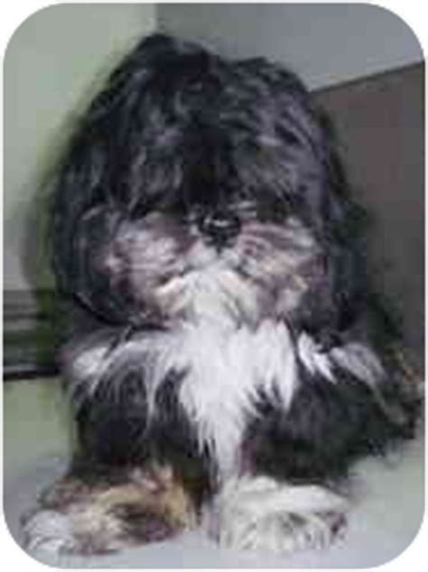 shih tzu rescue kansas city courtesy list wally adopted kansas city mo shih tzu bichon frise mix