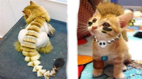 imagenes animales con pelo los m 225 s raros cortes de pelo de gatos youtube