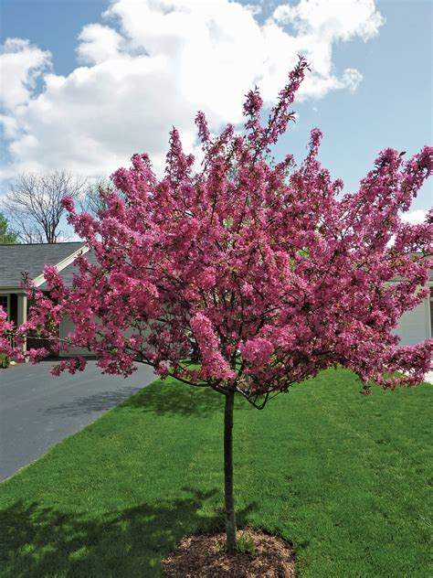 small spring flowering trees ohio gardener web articles
