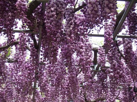Wisteria Flower Tunnel by Fuji Flower And The Flower Park Life In The 10 40 Window