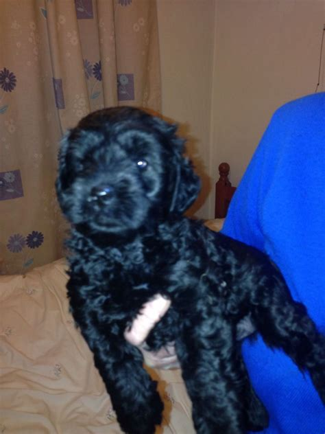 yorkie poo puppies for sale in colorado yorkie poo puppies for sale pontefract west pets4homes