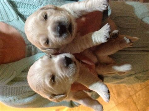 golden retriever puppies for sale uk golden retriever puppies for sale honiton pets4homes