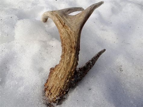 Shed Antler by Shed Antlers Another Reason To Explore Nature In Winter