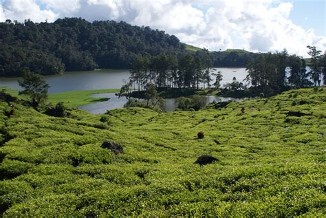 Teh Pucuk Paling Kecil dunia anak berbagai jenis teh dan manfaatnya bagi tubuh