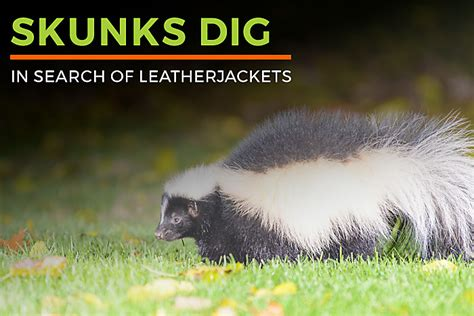 skunk repellent critter ridder skunks 2choose the best