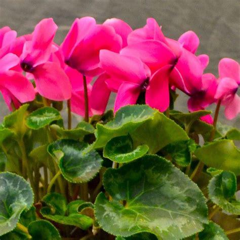 ciclamino coltivazione in vaso ciclamino cyclamen cyclamen bulbi ciclamino