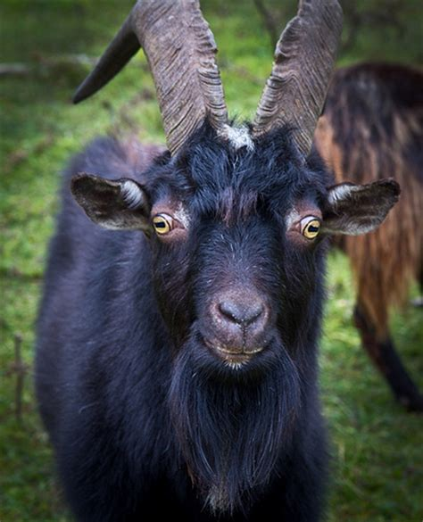 black goat black goat flickr photo sharing
