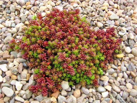 Teppich Koralle by Sedum Album Coral Carpet