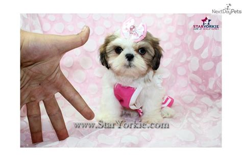 teacup shih tzu pictures shih tzu puppy for sale near los angeles california 506c440d 99a1