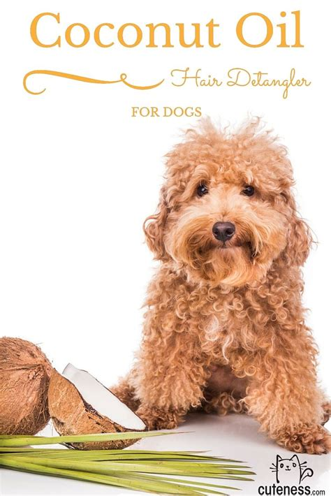 coconut for dogs best 25 cockapoo grooming ideas on cockapoo haircut cockerpoo and cockapoo