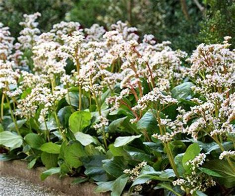 31 best images about bergenia on pinterest gardens glow and plants