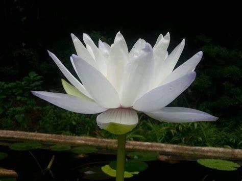 imagenes de flores hermosas grandes im 193 genes de flores 174 fotos de rosas margaritas o lirios