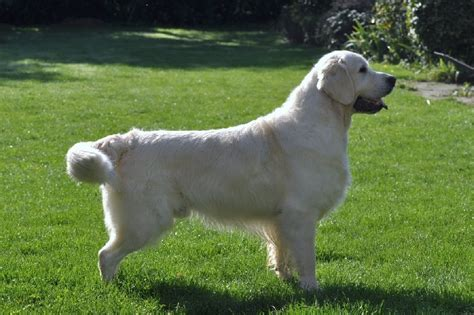 ashbury golden retrievers golden retriever ashbury golden retriever ashbury chien elevage ashbury eleveur de