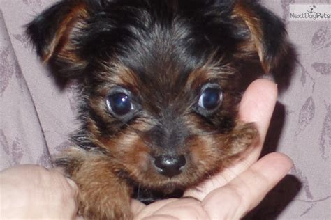 yorkie for sale in ky terrier yorkie puppy for sale near louisville kentucky c060dda7 cae1