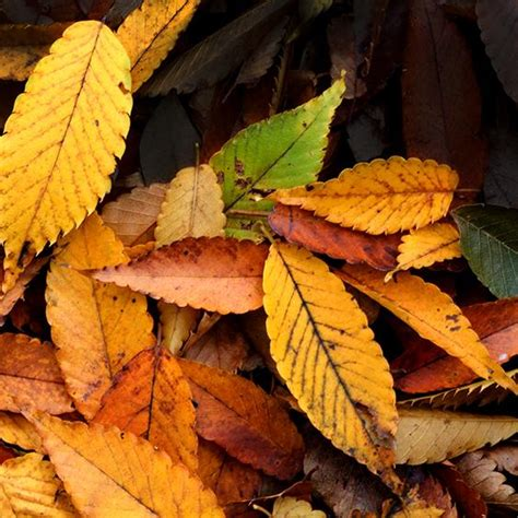 what causes leaves to change color in the fall why do leaves change color in the fall season ask a