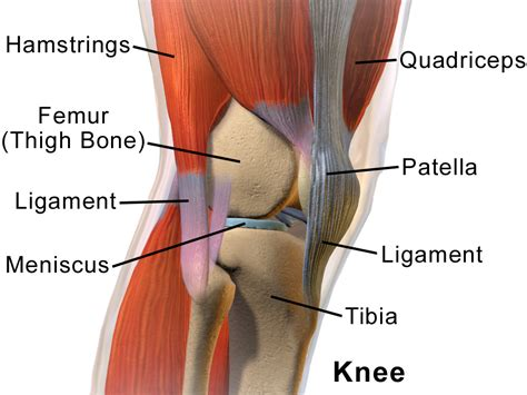 knee tendon diagram knee tendon and ligament anatomy human anatomy diagram