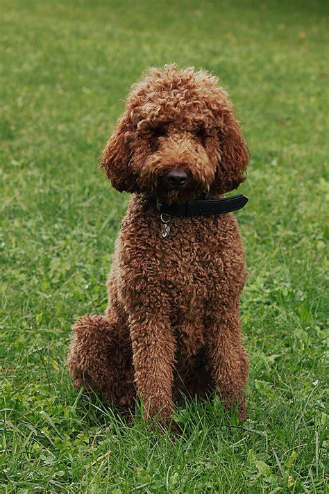 hypoallergenic dogs hypoallergenic breed