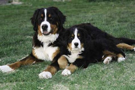 bernese mountain shedding bernese mountain grooming bathing and care espree animal products