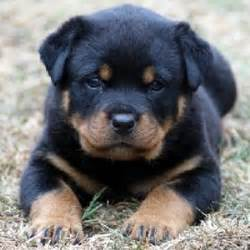 miniature rottweiler puppies for sale looks like a mini rottweiler 3 pounds northeast ohio dogs for sale puppies for