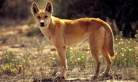dingo dogs dingo domesticated characteristics traits information