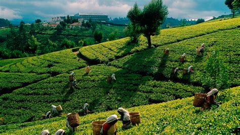 Ceylon Srilanka leading tea exporters in sri lanka ceylon tea exporters