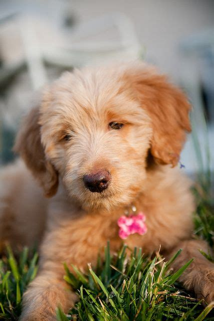 goldendoodle puppy oklahoma 51 best images about golden doodles on