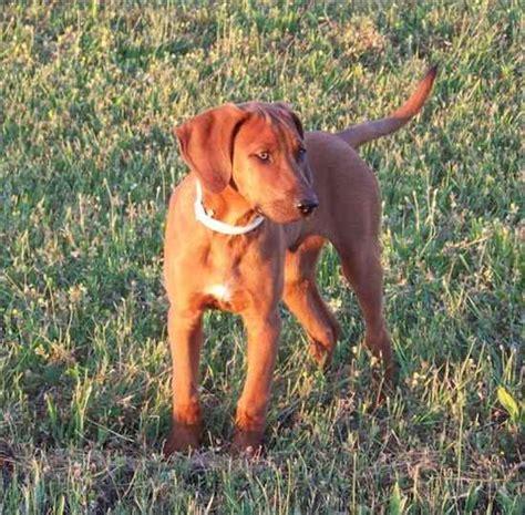 redbone coonhound golden retriever mix golden retriever mixed with redbone breeds picture