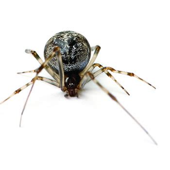 sw spider house american house spider control removal of american house spiders catseye pest control
