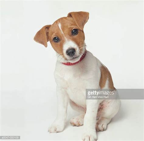 russel puppy terrier stock photos and pictures getty images
