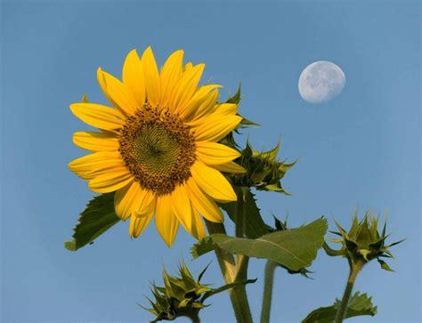 Sunflower S 1 flower picture sunflower desktop wallpaper