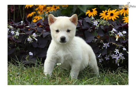 shiba inu puppies for sale near me shiba inu puppy for sale near lancaster pennsylvania 12d3f34f 4fa1